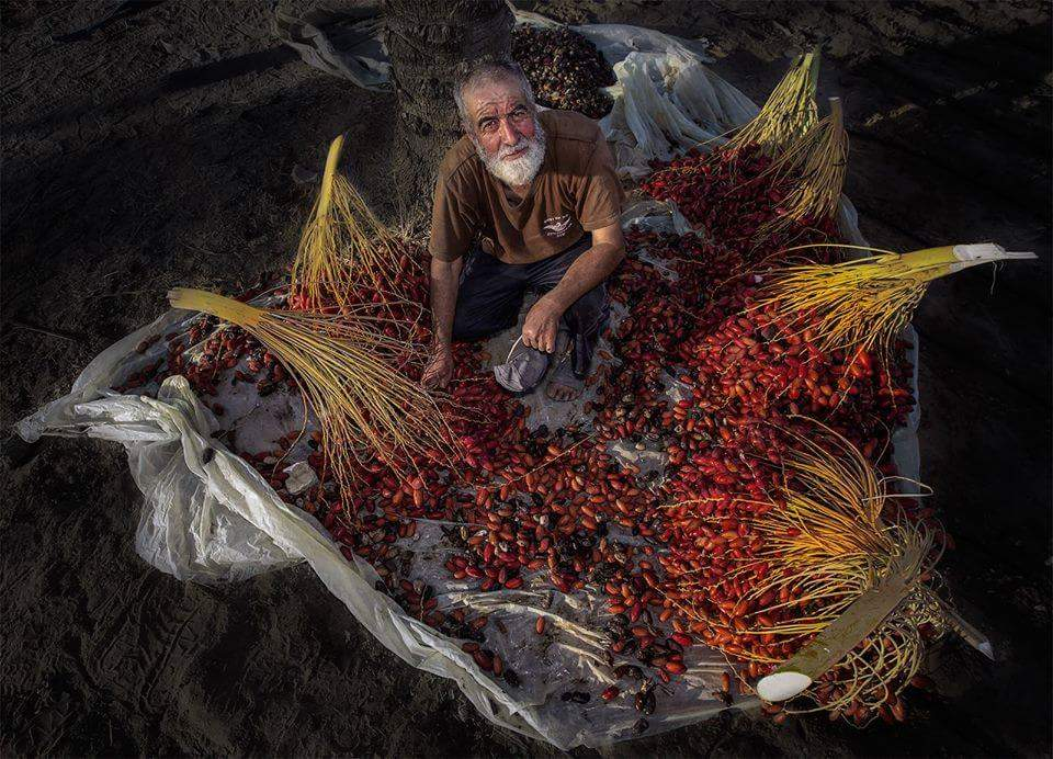 IPNOT PICTURE OF THE DAY from October 11th 2016: Date Palm Harvest in Besieged Gaza Strip